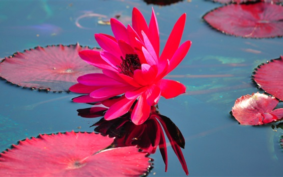 Wallpaper Red water lily, red leaves, pond, water