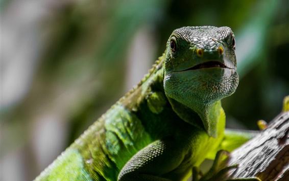 Обои Рептилия Ящерица крупным планом, зеленые весы