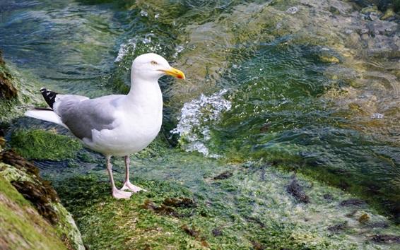 Papéis de Parede Aves marinhas, gaivota, água