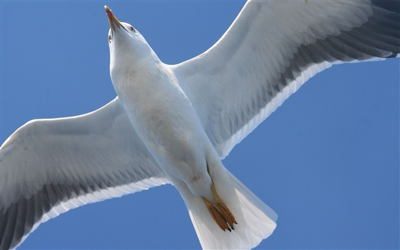 Wallpaper Seagull flying, bottom view, wings