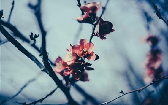 Papéis de Parede Primavera, flores vermelhas, árvore, galhos, crepúsculo