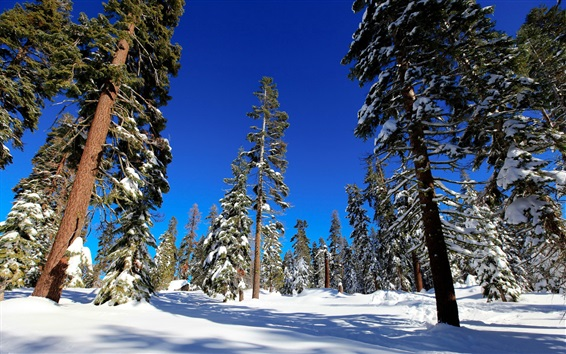 Wallpaper Spruce forest, trees, winter, snow