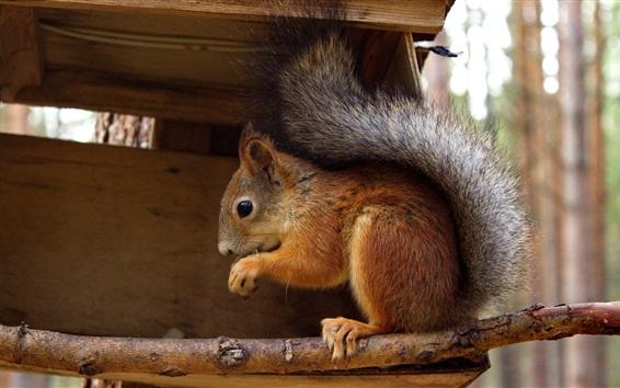 Wallpaper Squirrel close-up, wood