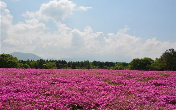 Fond d'écran Été, rose, fleurs, champ