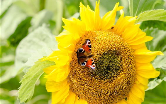 Fond d'écran Tournesol, papillon, jaune, pétales