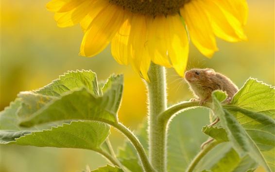 Wallpaper Sunflower, mouse, leaves
