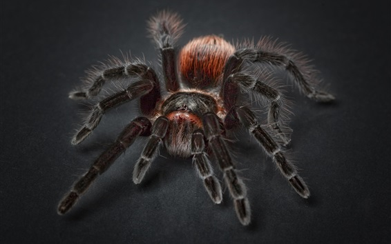 Fond d'écran Tarentule, araignée, insecte