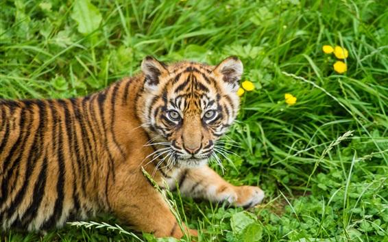 Papéis de Parede Filhote de tigre, grama, Sumatra