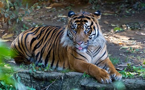 Wallpaper Tiger rest, Sumatran