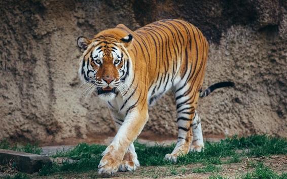 Papéis de Parede Caminhada do tigre, fotografia do predador, gato grande