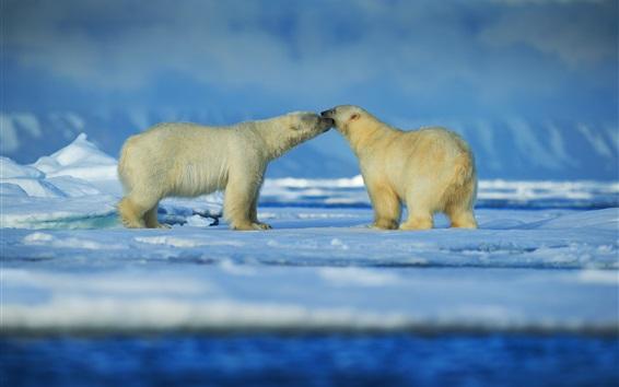 Обои Два белых медведей, дружелюбный, снег