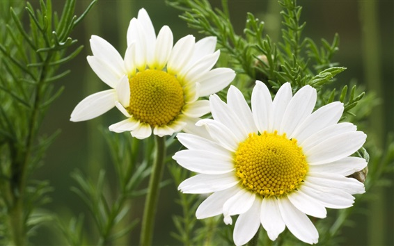 Wallpaper White daisies flowers, green grass