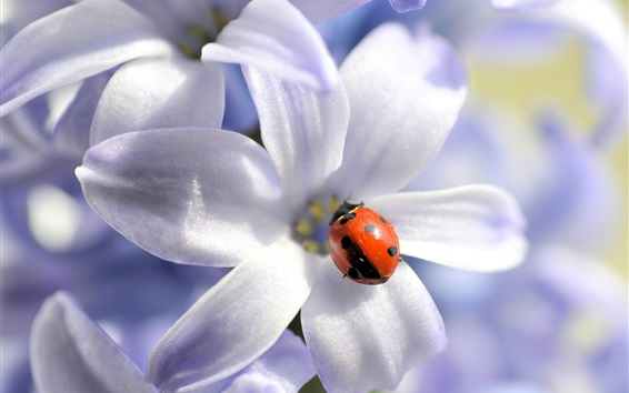 Wallpaper White flowers, red ladybug