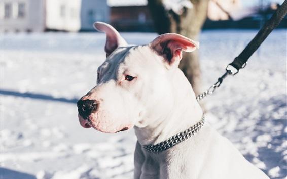 Wallpaper White shepherd dog