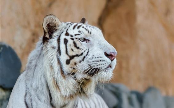 Обои Белый тигр, голова, лицо, хищник
