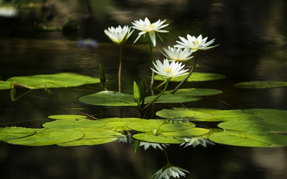 Wallpaper White water lilies, green leaves, reflection