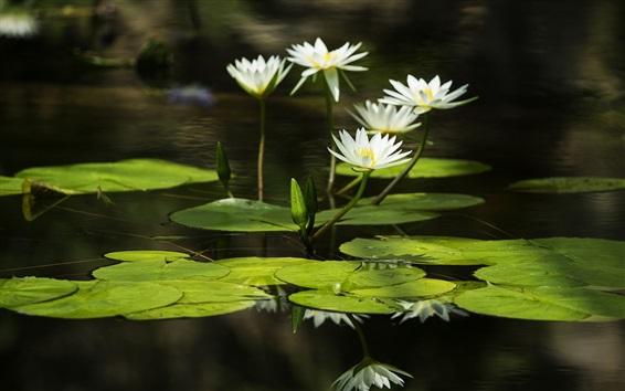 Fond d'écran Blanc, eau, lis, vert, feuilles, reflet