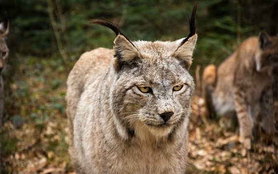 Wallpaper Wild cat, face, yellow eyes, look, lynx