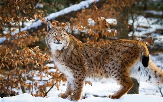 Papéis de Parede Selvagem, gato, lince, neve, inverno