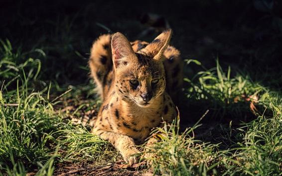 Wallpaper Wild cat, serval, grass, night
