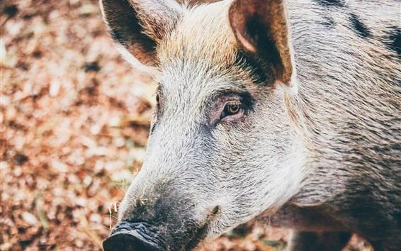 Wallpaper Wild pig, head, mouth, eyes, ears