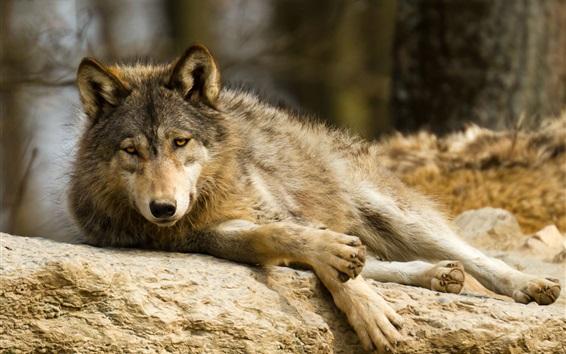 Fond d'écran Repos de loup, prédateur, pierre