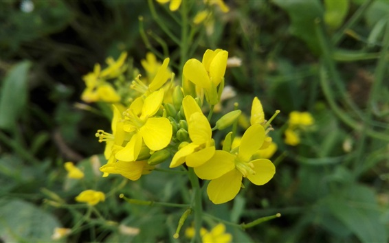 Wallpaper Yellow canola flowers
