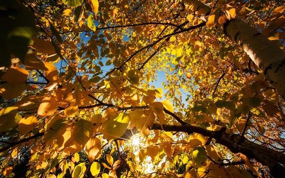 Wallpaper Yellow leaves, birch, trees, sun rays, autumn