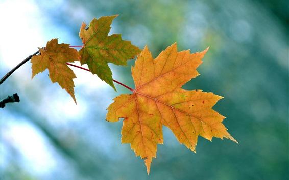 Обои Желтые листья клена, осень, синий фон