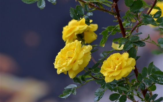 Wallpaper Yellow rose flowers, dew