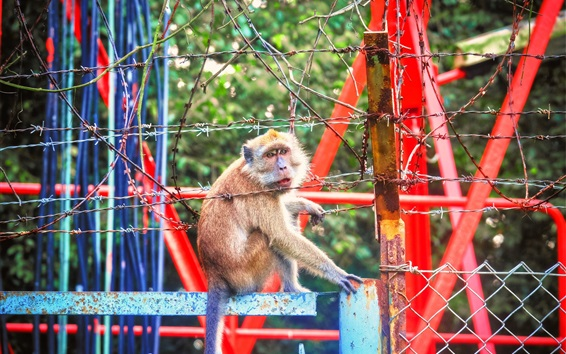 Wallpaper Zoo animals, monkey, barbed wire