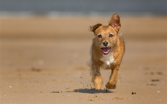 壁紙 ビーチで走っている茶色の犬
