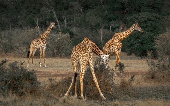 Обои Африка, жираф, дикая природа