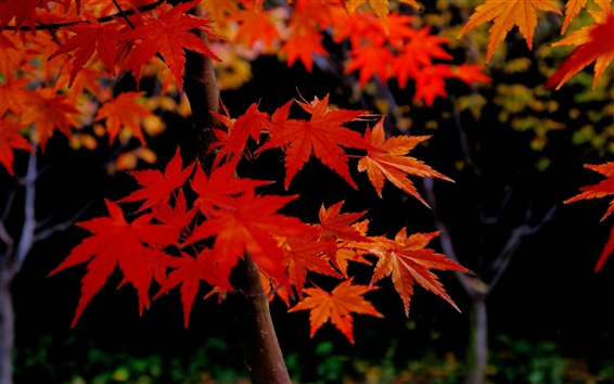 Wallpaper Autumn, maple tree, red leaves