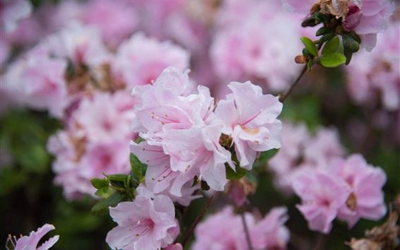 Fondos de pantalla Azalea flores florecen, pétalos de rosa