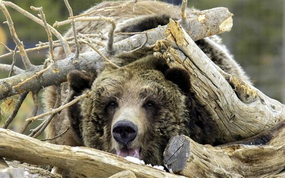 Wallpaper Bear, disguise, wood