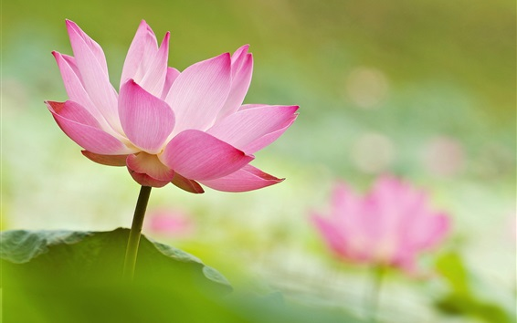 Wallpaper Beautiful lotus, pink flowers, blurry background