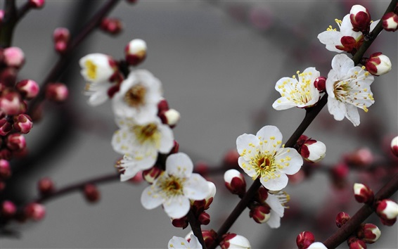 Wallpaper Beautiful white plum flowers bloom
