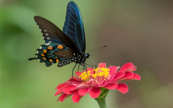 Wallpaper Black wings butterfly and red flower