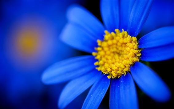 배경 화면 푸른 꽃잎 데이지, 노란 암술