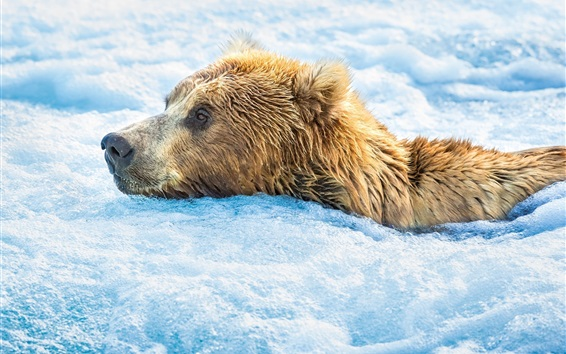 Wallpaper Brown bear in the cold water, snow, foam