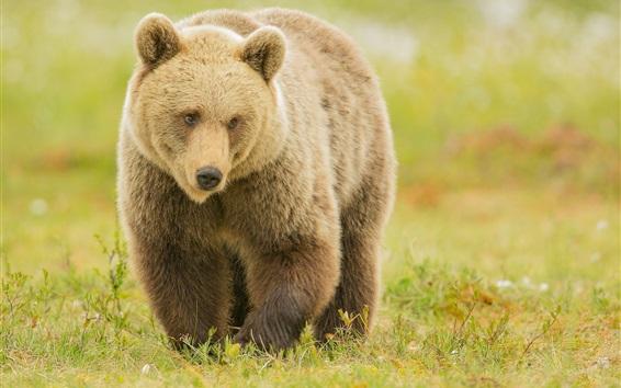 Wallpaper Brown bear walk in grass