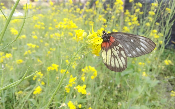 Wallpaper Canola flowers and butterfly
