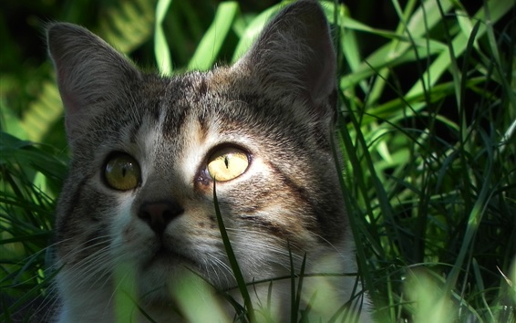 Wallpaper Cat hidden in the grass, face, eyes