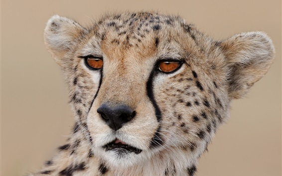 Wallpaper Cheetah close-up, face, predator