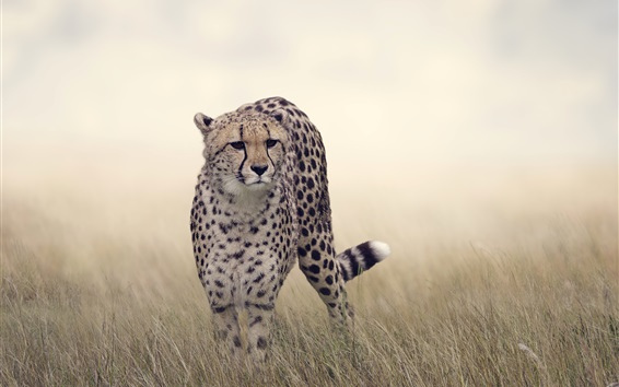 Wallpaper Cheetah, grass, wildlife