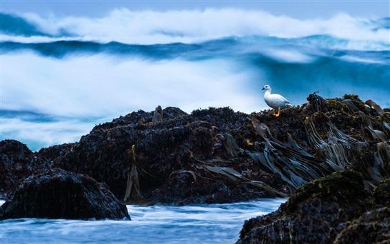 Wallpaper Chile, Cole-Cole Beach, bird, rocks, algae