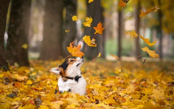 Wallpaper Corgi in autumn, dog, yellow maple leaves