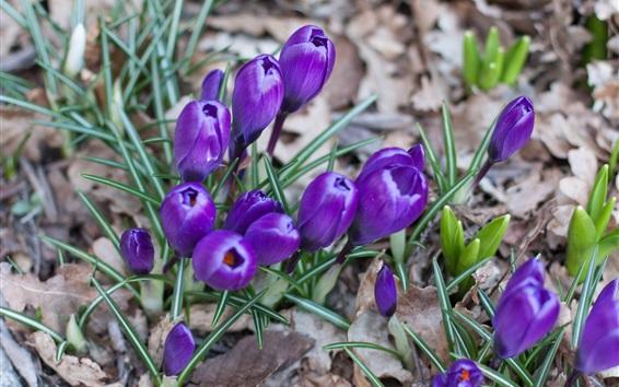 Papéis de Parede Açafrão, flores azuis, grama