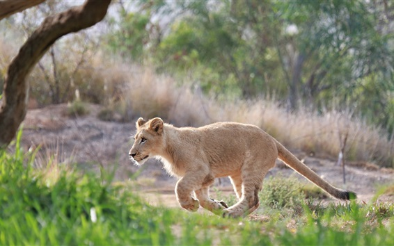 Wallpaper Cute lion cub walk